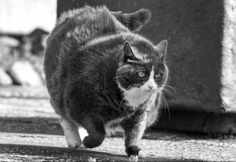 chat obèse - poids idéal animal
