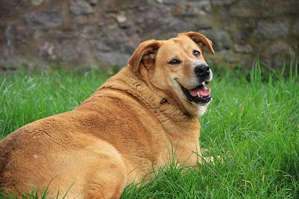 surpoid chien